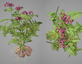 Flowering potatoes 3D