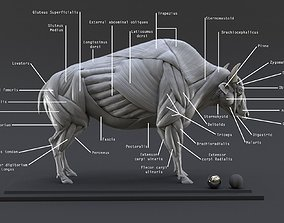 Bison Ecorche - Model Muscles Study -