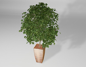 Plant Ahorn tree 3D