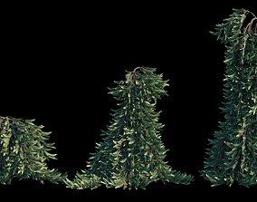 Weeping Norway Spruce 3D model