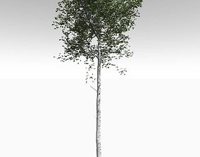Tall Mature Quaking Aspen - Variation 1 3D model