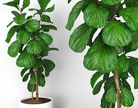 Fiddle leaf fig tree 3D model