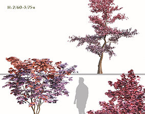 Set of Japanese maple or Palmate Maple Trees - 3D model 1