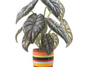 Alocasia houseplants 3D