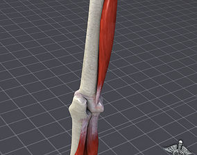 3D model human Human Elbow Bone and Muscle Structure