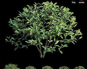 ixora plant set 28 3D model