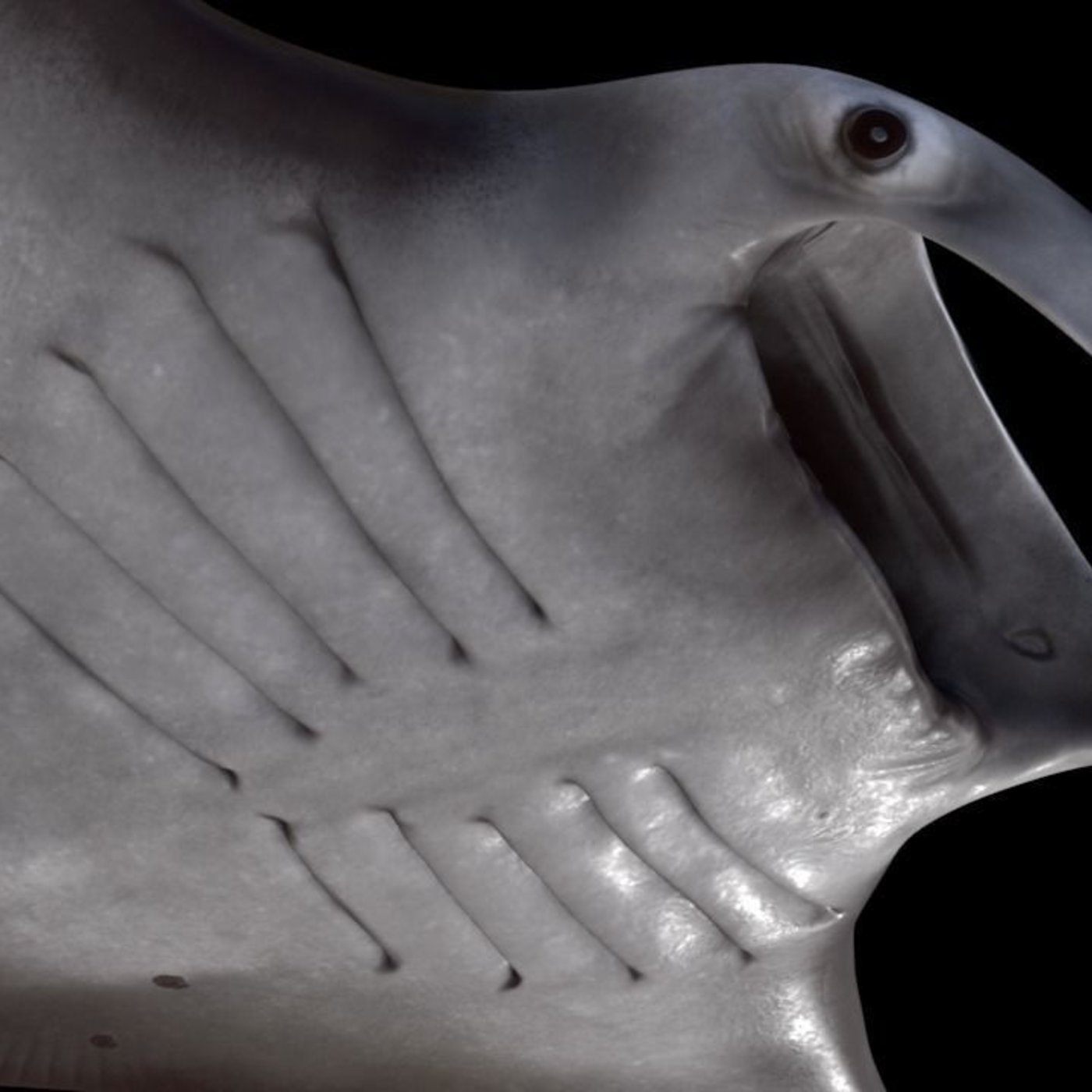 Manta Birostris - The Great Manta Ray