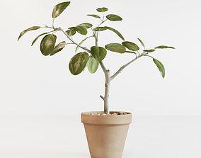 Ficus altissima 3D