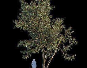 3D model Eucalyptus Leucoxylon