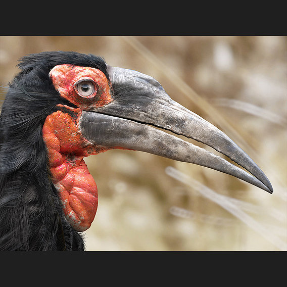 Souther ground hornbill