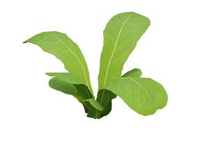 3D model realtime Low Poly Lettuce