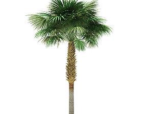Sabal Palm Tree 3D Model 8m
