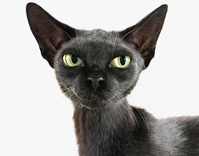 Cat Black Fur Shorthair Animated XGen Core 3D