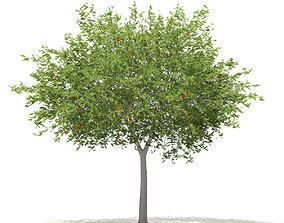European Rowan Sorbus aucuparia 9m 3D