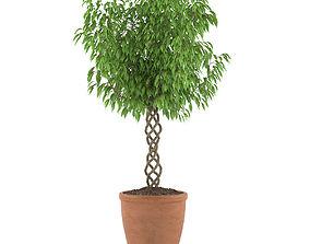 3D leaf Ficus Benjamina