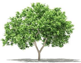 3D Common Fig Tree