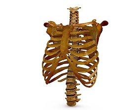 3D model Human Spine Scanned