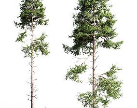 3D Scots pine 3