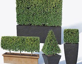 Buxus microphylla Nr2 3D