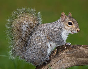 Squirrel Low-poly CULTZONEGames 3D asset
