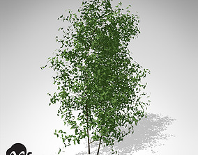 3D XfrogPlants Common Privet