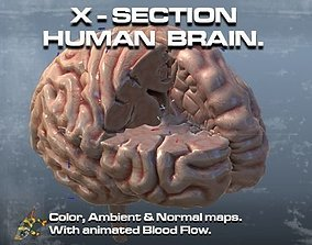 3D Cross Section Human Brain Lobes