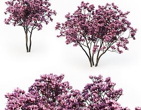 3D model Magnolia Liliflora