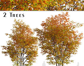 Set of Silver maple or Creek maple Tree - 2 Trees 3D