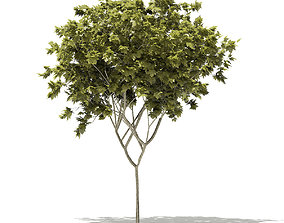 3D model Norway Maple Acer platanoides 6m