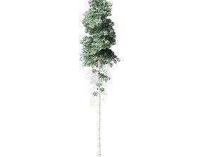 Quaking Aspen Tree 3D Model 11m