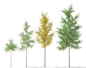 3D model Ginkgo Biloba young trees