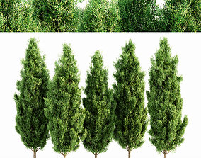 3D Italian Cypress tree collection 5 trees in the scene