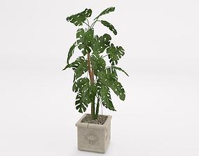 Rhapis humilis plant 3D model