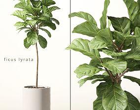 3D ficus lyrata bush