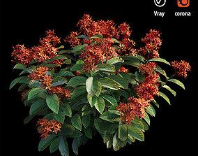 3D model Ixora plant set 02