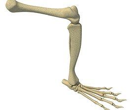 Rat Animal Leg Skeleton 3D model