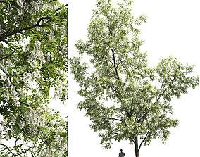 Robinia pseudoacacia 03 H14m 3D
