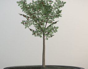 3D model Rowan Tree - Sorbus-Aucuparia - 4m - Summer