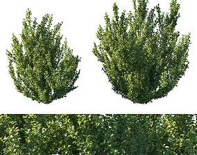3D Rhamnus alaternus bush