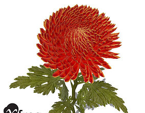XfrogPlants Pompon Chrysanthemum 3D model