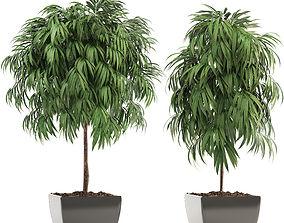 3D model Ficus Alii