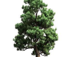 Decorative pine v2 3D model