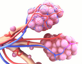 Realistic Human Bronchi Alveoli Anatomy 3D model