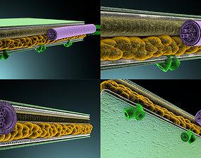 Cross section of leaf education 3D model