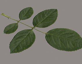 3D asset Rose leaf