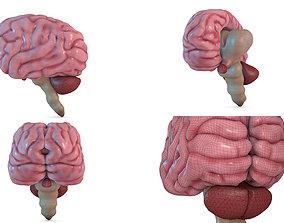Human Brain 3D model neurology