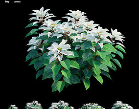 Poinsettia plant 07 3D model