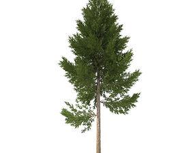 3D model pine tree 22 m