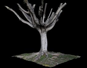 Ficus old 3D