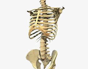 Skeleton Torso anatomy 3D